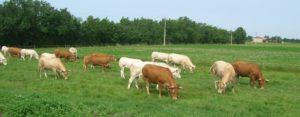 Troupeau de Vaches à l'herbe