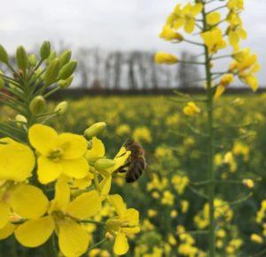 Colza avec abeille - La Ferme des Bouviers