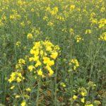 Champ de colza printemps 2020 - La Ferme des Bouviers