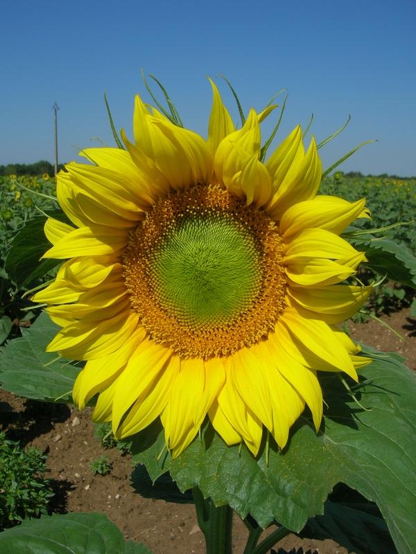 Fleur de Tournesol - La Ferme des Bouviers
