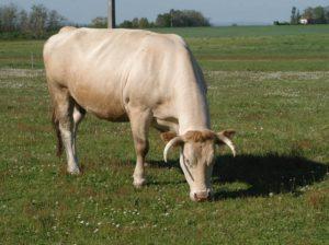 Vache La Ferme des Bouviers