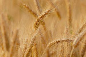 Champ de blé - La Ferme des Bouviers