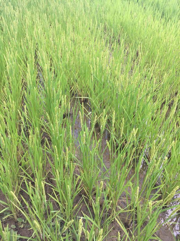 Champ de riz le 29/08/2020 - La Ferme des Bouviers