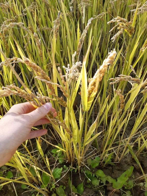 Riz prêt à récolter ? le 22/10/2020 - La Ferme des Bouviers