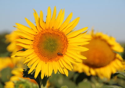 Tournesol Fleur avec abeille - La Ferme des Bouviers